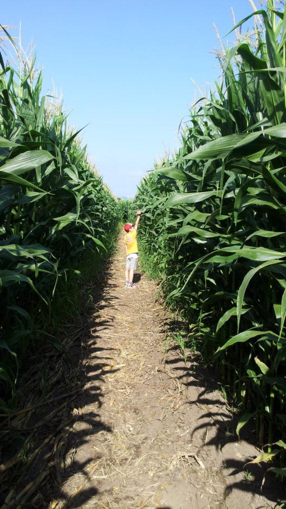 箱根牧場トウモロコシの迷路