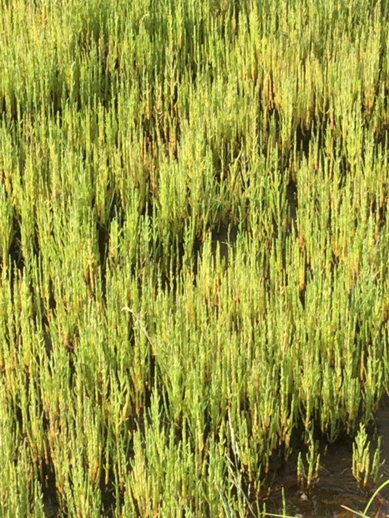 色づく前のサンゴ草