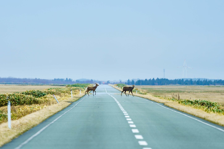 エサヌカ線の鹿